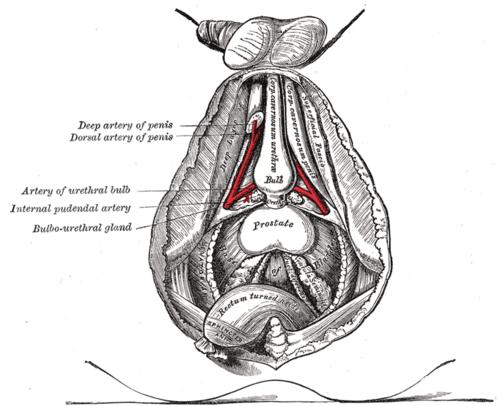 Arteria profunda del pene - Wikiwand