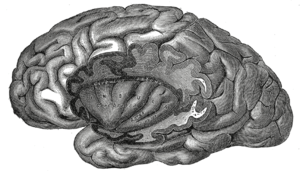 Disgust - The insula of the left side, exposed by removing the opercula. From Henry Vandyke Carter - Henry Gray (1918) Anatomy of the Human Body Bartleby.com: Gray's Anatomy, Plate 731