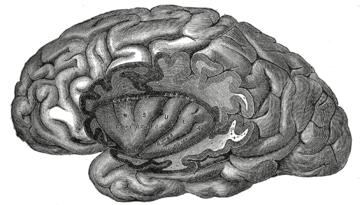 ILLUSTRATION : Gyrus du lobe de l'insula (Source : Wikipédia)