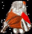 Gray — musculus opponens digiti minimi.png