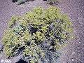 Greasewood Sarcobatus vermiculatus p032.jpg