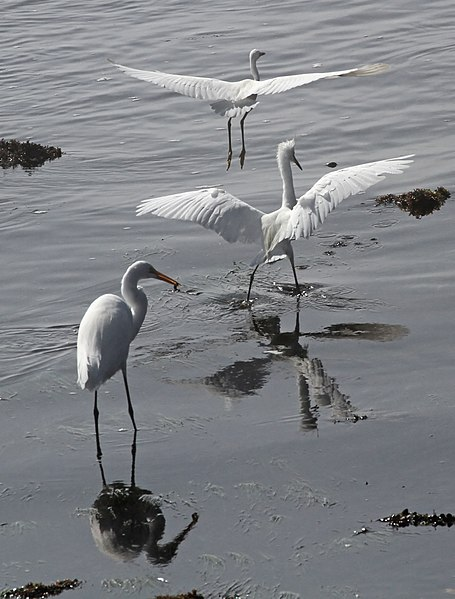File:Great Egret and two Snowy Egrets, California (14956888243).jpg