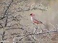 Great Rosefinch (Carpodacus rubicilla) (45889063535).jpg