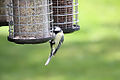Great Tit - May 2009 (3557628740).jpg