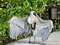 Great blue heron (47938750568).jpg