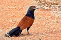 Greater Coucal (Centropus sinensis) செம்பகம் taken at Tirunelveli Tamilnadu India.jpg