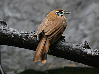 Greater necklaced laughingthrush - Image: Greater Necklaced Laughingthrush SMTC