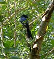 Greater Racket-tailed Drongo. Dicrurus paradiseus - Flickr - gailhampshire.jpg