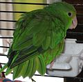 Green-rumped Parrotlet (Forpus passerinus).jpg
