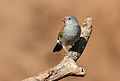 Green-winged Pytilia, Pytilia melba at Mapungubwe National Park, Limpopo, South Africa (male and female in set) (18032341325).jpg