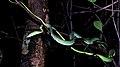 Green Vine Snake Ahaetulla nasuta by Dr. Raju Kasambe DSCN0089 (2).jpg
