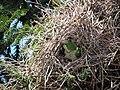 Green parrots at Parque por la Paz Villa Grimaldi - Santiago Chile - Peace Park (5277464171).jpg