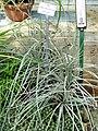 Greigia sphacelata - Botanischer Garten München-Nymphenburg - DSC07934.JPG