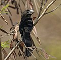 Grenada- Smooth-Billed Ani (4464432070).jpg