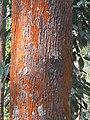 Grevillea robusta - silver oak in Wayanad (3).jpg