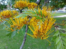 Grevillea robusta leaves and flowers 4.jpg