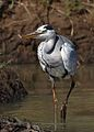 Grey Heron, Ardea cinerea, at Pilanesberg National Park, Northwest Province, South Africa (28285227660).jpg