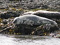 Grey Seals, Rathlin Island.jpg