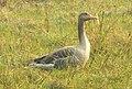 Greylag Goose Anser anser by Dr. Raju Kasambe DSCN7305 (6).jpg