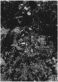 Ground Cherry - Japanese Lanterns. Physalis. - NARA - 520506.tif