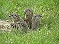 Groundhogs.JPG