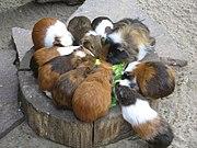 Cochons d'Inde de différentes races et coloris.