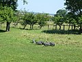 Guineafowl at High Northolme Farm - geograph.org.uk - 204375.jpg
