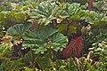 Gunnera insignis-0606 - Flickr - Ragnhild & Neil Crawford.jpg