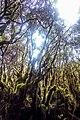 Gunung Irau (The Mossy Forest) (25912713900).jpg