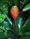 Guzmania conifera (flower) - Botanical Garden Cologne.jpg