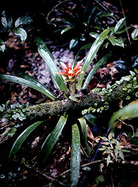 I sitt habitat i Surinam