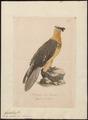 Gypaëtus barbatus - 1700-1880 - Print - Iconographia Zoologica - Special Collections University of Amsterdam - UBA01 IZ18100023.tif