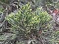 HK SYP 西環 Sai Ying Pun 皇后大道西 409 Queen's Road West 怡景花園 Elegant Garden green leaves flora plant April 2020 SS2 02.jpg