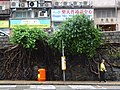 HK Sai Ying Pun ML 般咸道 Bonham Road trees Aug 2016 DSC 002.jpg