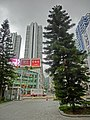 HK Tsuen Wan Town Hall 荃灣大會堂 outdoor carpark 23 異葉南洋杉 Norfolk May-2013 view Tsuen Wan Plaza.JPG