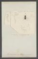 Hadrocerus - Print - Iconographia Zoologica - Special Collections University of Amsterdam - UBAINV0274 020 05 0010.tif