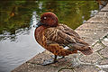 Hardhead Duck 1015.jpg