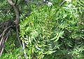 Harpephyllum caffrum Anacardiaceae 6397s.jpg