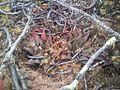 Haworthia maraisii Aston South Africa 1.jpg
