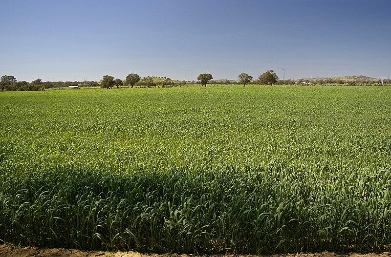 Heat affected crop during a green drought.jpg