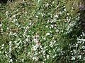 Heath Bedstraw (Galium saxatile), Spiers Old School Grounds, Beith,.jpg