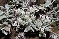 Helichrysum satherlandii (Asteraceae) (6932193973).jpg