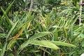 Heliconia psittacorum 32zz.jpg