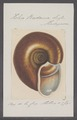 Helix radama - - Print - Iconographia Zoologica - Special Collections University of Amsterdam - UBAINV0274 089 01 0003.tif