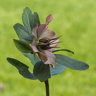 Hellebore - Seed pods swell