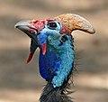 Helmeted Guineafowl (Numida meleagris) - Flickr - berniedup.jpg
