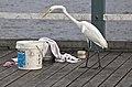 Henry Egret the Great Egret at Shorncliffe-05 (6836884596).jpg
