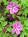 Herb-Robert (Geranium robertianum) (4584734008).jpg