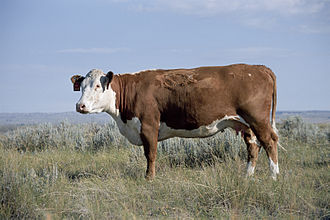 Genome project - L1 Dominette 01449, the Hereford who serves as the subject of the Bovine Genome Project