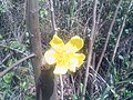 Hermosa flora venezolana.jpg